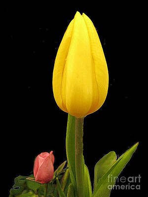 Photograph - Yellow Tulip And Red Bud by Merton Allen