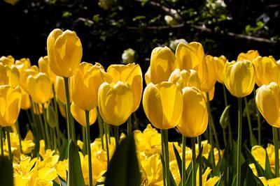 Yellow Tulip Attention Art Print