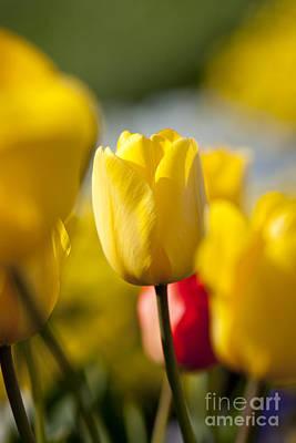 Photograph - Yellow Tulip by Brian Jannsen