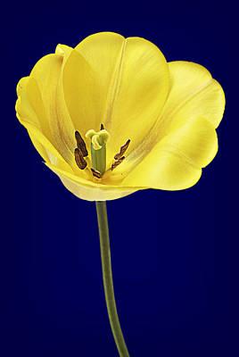 Tulip Pics Photograph - Yellow Tulip by Donald  Erickson