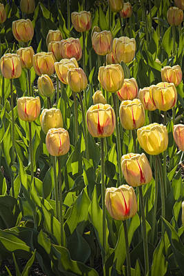 Photograph - Yellow Tulip Flowers On Windmill Island In Holland Michigan by Randall Nyhof