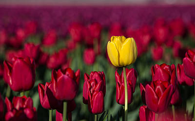 Photograph - Yellow Tulip In A Red Field by Pierre Leclerc Photography