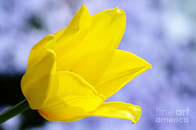 Photograph - Yellow Tulip  by Larry Ricker