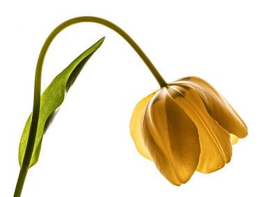 Photograph - Yellow Tulip On White by Vishwanath Bhat