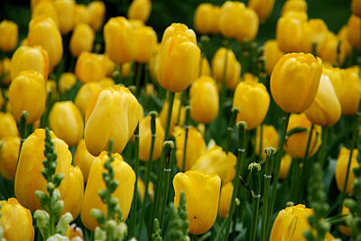 Garden Photograph - Yellow Tulip Sea by Jennifer Ancker