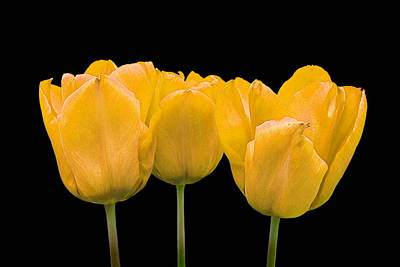 Photograph - Yellow Tulip Triple by Gill Billington