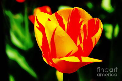 Photograph - Yellow Tulip With Red 2 by Rod Ismay