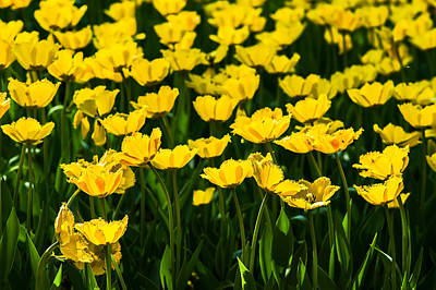 Western Art - Yellow Tulips 3 by Alexander Senin