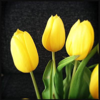 Tulips Photograph - Yellow Tulips Black Background by Matthias Hauser