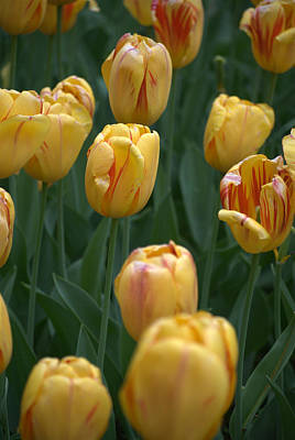 Photograph - Yellow Tulips by Caroline Stella
