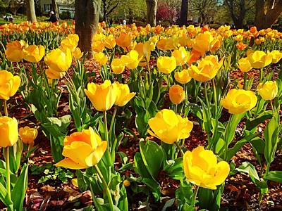 Photograph - Yellow Tulips by Chris Montcalmo