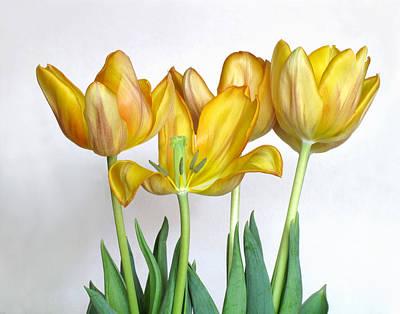 Photograph - Yellow Tulips by David and Carol Kelly
