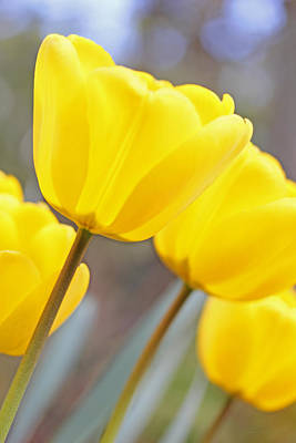 Photograph - Yellow Tulips In The Garden by Jennie Marie Schell