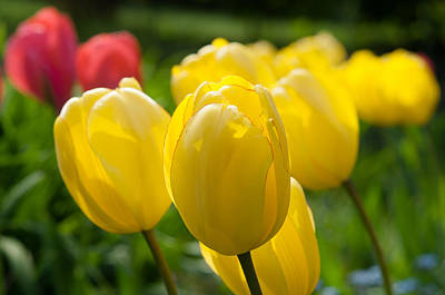 Photograph - Yellow Tulips by Iryna Soltyska