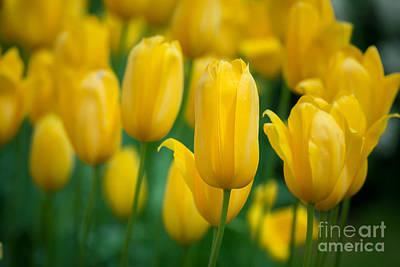 Photograph - Yellow Tulips by Katka Pruskova