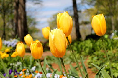 Winter Animals Rights Managed Images - Yellow Tulips Royalty-Free Image by Mary Koval