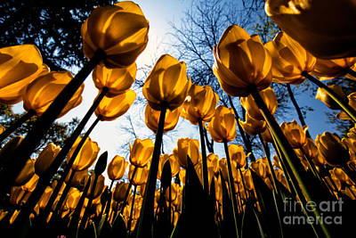 Lale Photograph - Yellow Tulips by Merthan Kortan