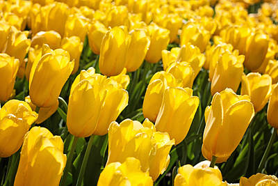 Photograph - Yellow Tulips by Michael Porchik