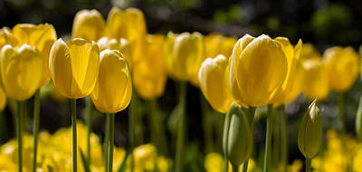 Yellow Tulips On Parade Art Print