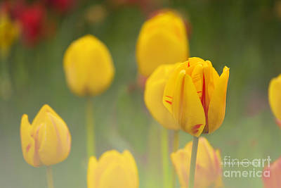 Photograph - Yellow Tulips by Rima Biswas