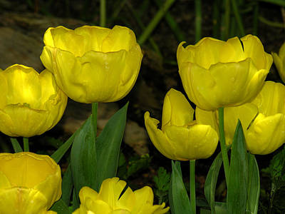 Photograph - Yellow Tulips by Robert Lozen