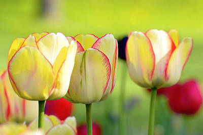 Bokhe Photograph - Yellow Tulips by Tommytechno Sweden