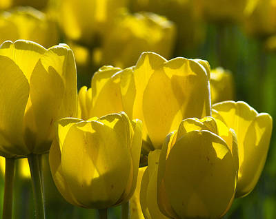 Photograph - Yellow Tulips  by Yulia Kazansky