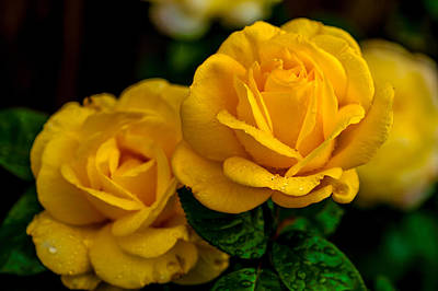 Photograph - Yellow Twins. Roses Of Our Garden by Jenny Rainbow