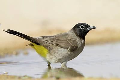 Bird Watching Photograph - Yellow-vented Bulbu by Photostock-israel