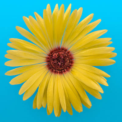 Vygie Photograph - Yellow Vygie On Blue 01 by Jo Roderick