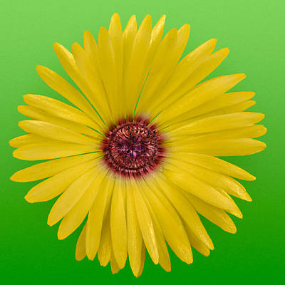 Vygie Photograph - Yellow Vygie On Green 01 by Jo Roderick