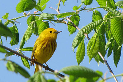 Photograph - Yellow Warbler by Ann Bridges