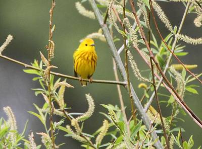 Yellow Warbler Photograph - Yellow Warbler by Dan Sproul
