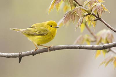 Yellow Warbler Photograph - Yellow Warbler by Mircea Costina Photography