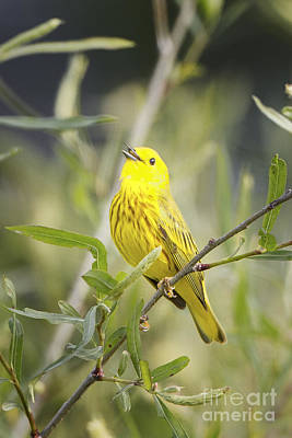 Photograph - Yellow Warbler by Ronald Lutz
