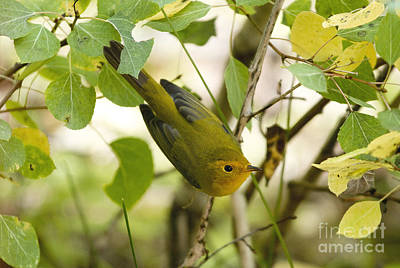 Curated Beach Towels - Yellow Warbler by Russell Smith
