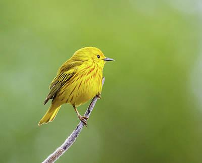 Yellow Warbler  Setophaga Petechia Art Print