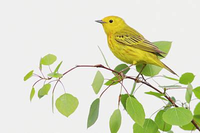 Warbler Photograph - Yellow Warbler, Spring Aspen Leaves by Ken Archer