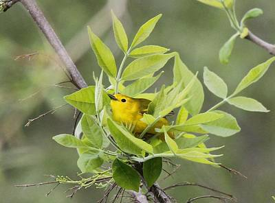 Photograph - Yellow Warbler Surprise by Dan Sproul