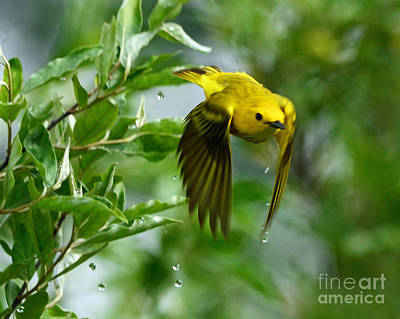 Yellow Warbler Takes Flight Art Print