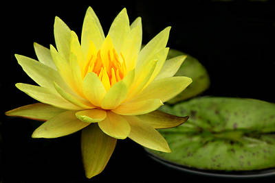 Dallas Arboretum Photograph - Yellow Water Lily by Elizabeth Budd