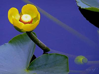 Yellow Water Lily Art Print
