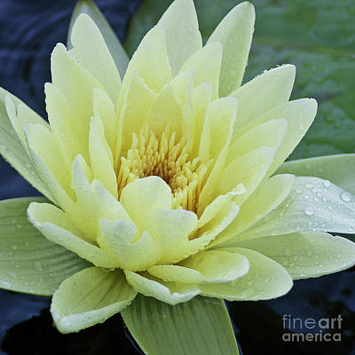 Yellow Water Lily Nymphaea Art Print by Heiko Koehrer-Wagner