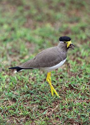 Lapwing Photograph - Yellow-wattled Lapwing by Peter J. Raymond
