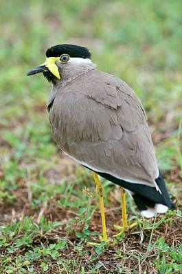 Lapwing Photograph - Yellow Wattled Lapwing by Tony Camacho