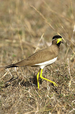 Lapwing Wall Art - Photograph - Yellow-wattled Lapwing by Tony Camacho/science Photo Library
