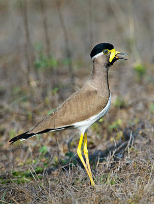 Lapwing Photograph - Yellow-wattled Lapwing Vanellus by Panoramic Images