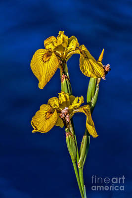 Photograph - Yellow Wild Iris by Robert Bales