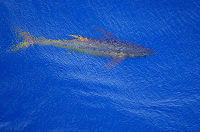 Photograph - Yellowfin Tuna Alongside by Bradford Martin