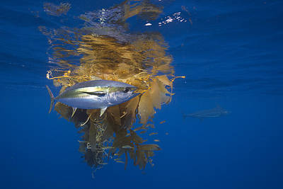 Underwater View Photograph - Yellowfin Tuna And Kelp Nine-mile Bank by Richard Herrmann